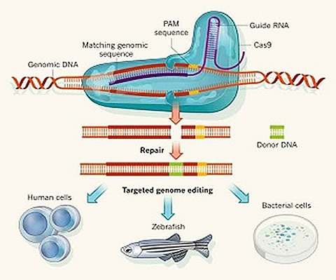 CRISPR/Cas9 & Targeted Genome Editing: New Era in Molecular Biology