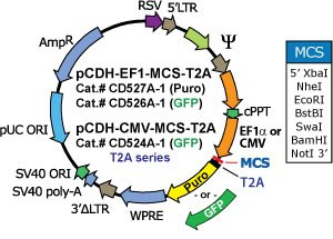 Ef1 Promoter Based Pcdh Ef1 Mcs T2a Puro Cdna Cloning And