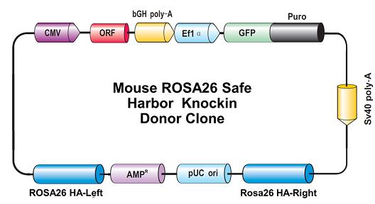 Crispr Cas9 Rosa26 Safe Harbor Targeting System
