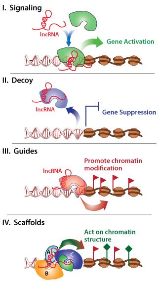 Long Non-Coding RNA (LncRNA)