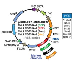 Ef1 Promoter Based Pcdh Ef1 Mcs Ires Gfp Cdna Cloning And