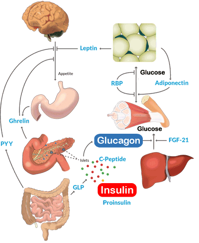Metabolism Assays And Elisa Kits For Glucagon And Insulin